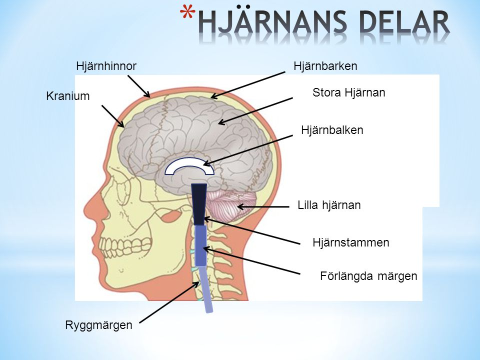 Stora Hjärnan Lilla hjärnan Hjärnstammen Ryggmärgen Förlängda märgen Hjärnbalken Hjärnhinnor Kranium Hjärnbarken