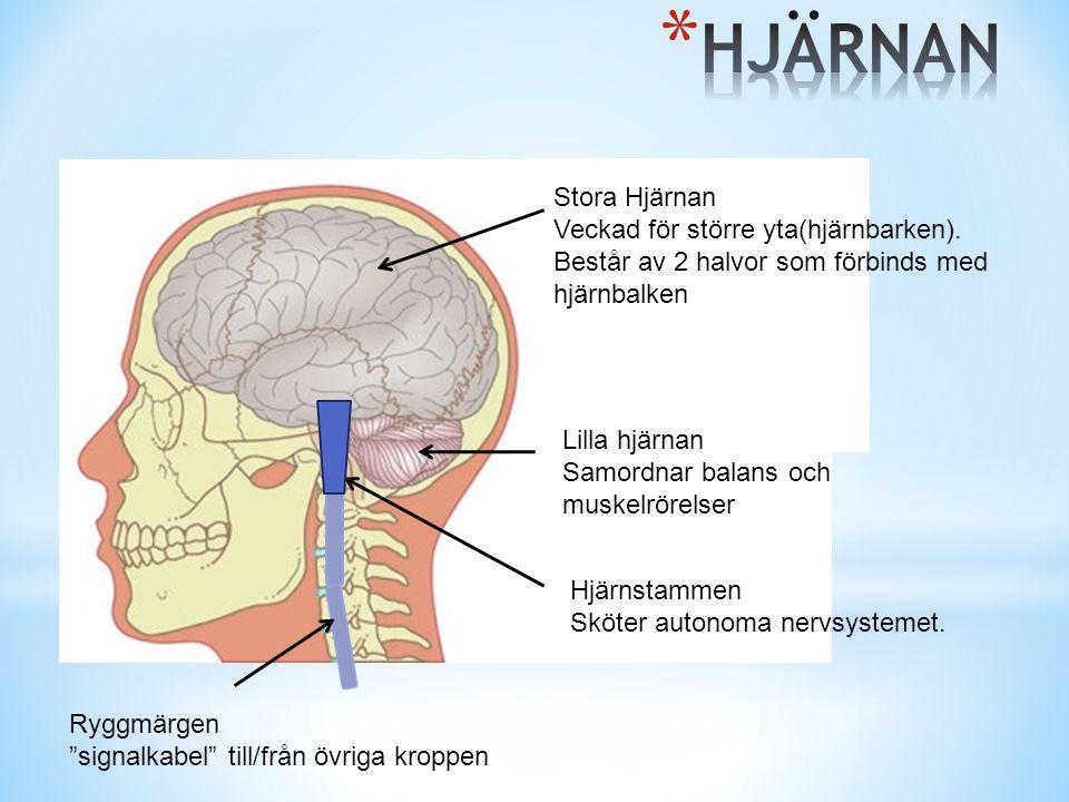 Stora Hjärnan Veckad för större yta(hjärnbarken). Består av 2 halvor som förbinds med hjärnbalken Lilla hjärnan Samordnar balans och muskelrörelser Hj