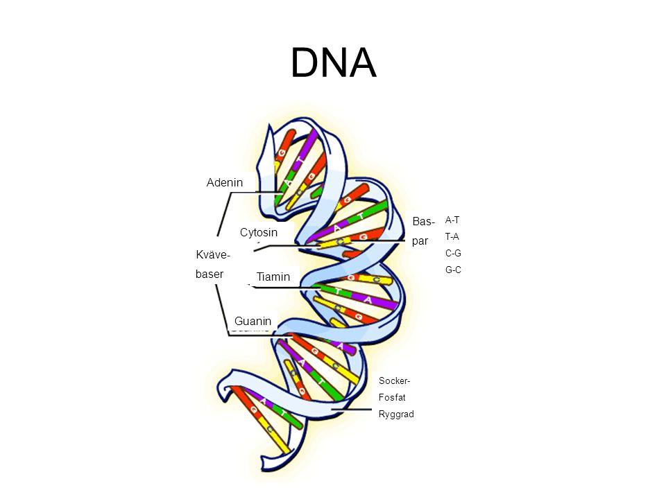 DNA Adenin Cytosin Tiamin Guanin Socker- Fosfat Ryggrad Bas- par A-T T-A C-G G-C Kväve- baser
