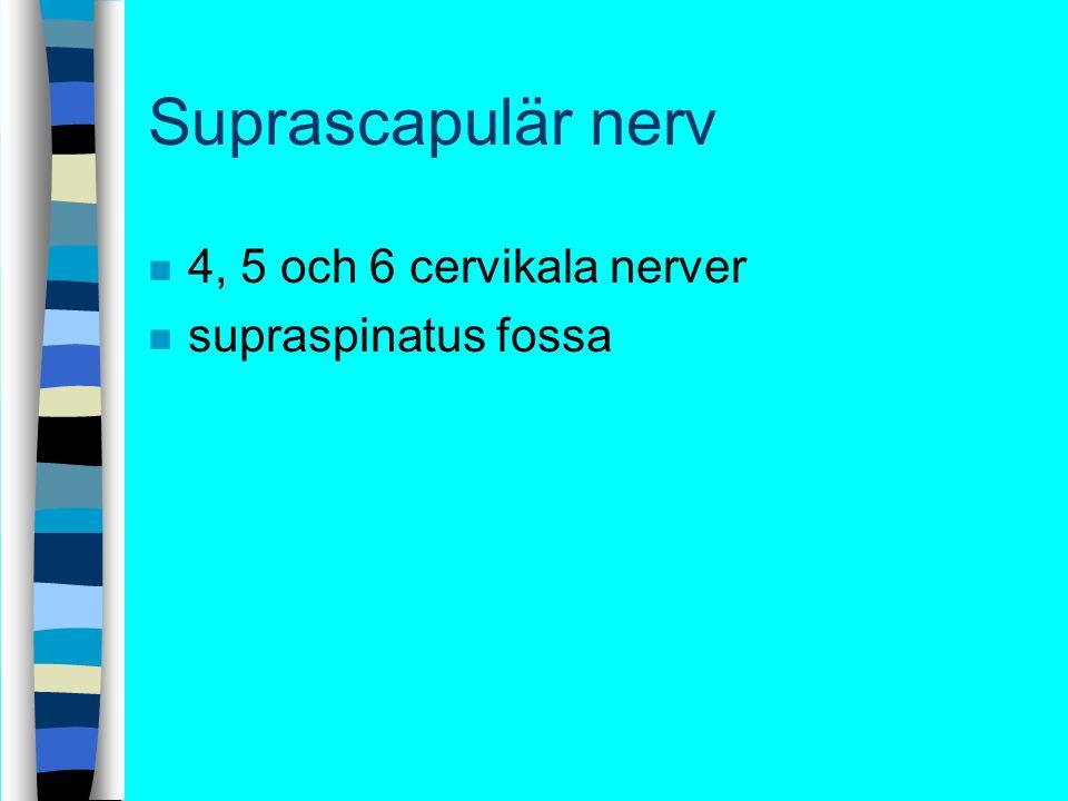 Suprascapulär nerv n 4, 5 och 6 cervikala nerver n supraspinatus fossa