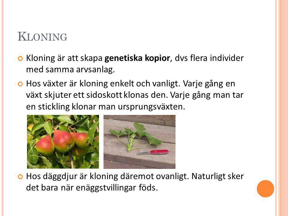 K LONING Kloning är att skapa genetiska kopior, dvs flera individer med samma arvsanlag. Hos växter är kloning enkelt och vanligt. Varje gång en växt
