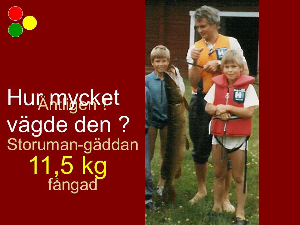 Äntligen ! Storuman-gäddan fångad Hur mycket vägde den 11,5 kg