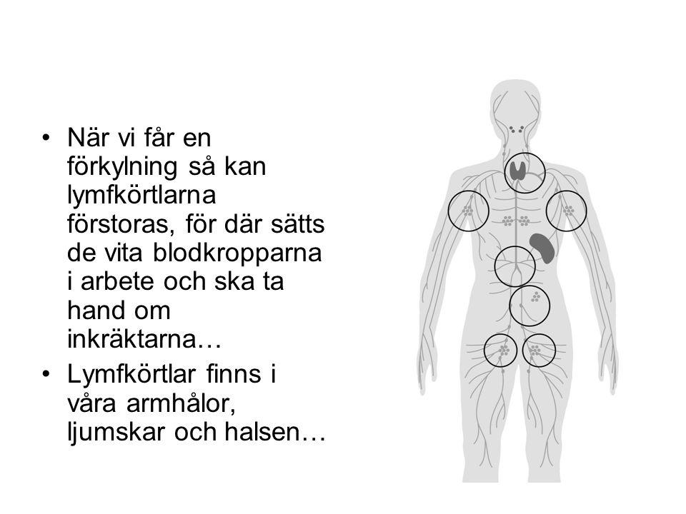 När vi får en förkylning så kan lymfkörtlarna förstoras, för där sätts de vita blodkropparna i arbete och ska ta hand om inkräktarna… Lymfkörtlar finns i våra armhålor, ljumskar och halsen…