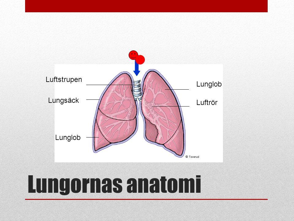 Lungornas anatomi Lungsäck Lunglob Luftrör Luftstrupen