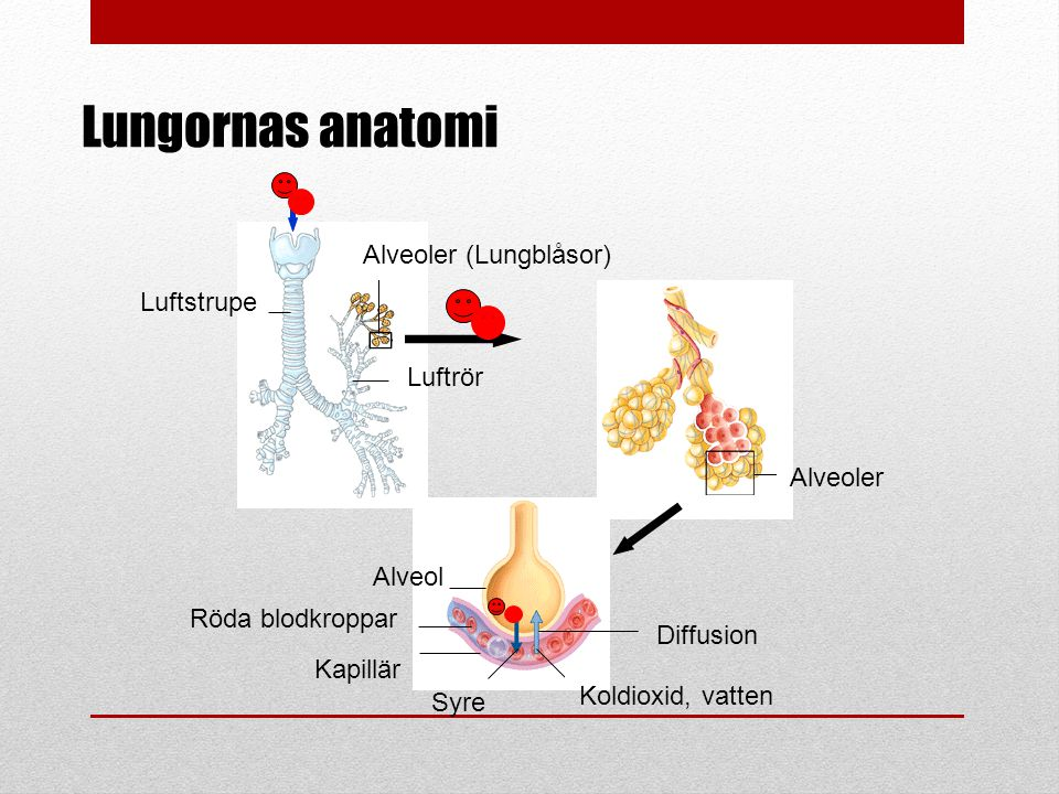 Luftstrupe Luftrör Alveoler (Lungblåsor) Alveoler Alveol Röda blodkroppar Kapillär Syre Koldioxid, vatten Diffusion Lungornas anatomi