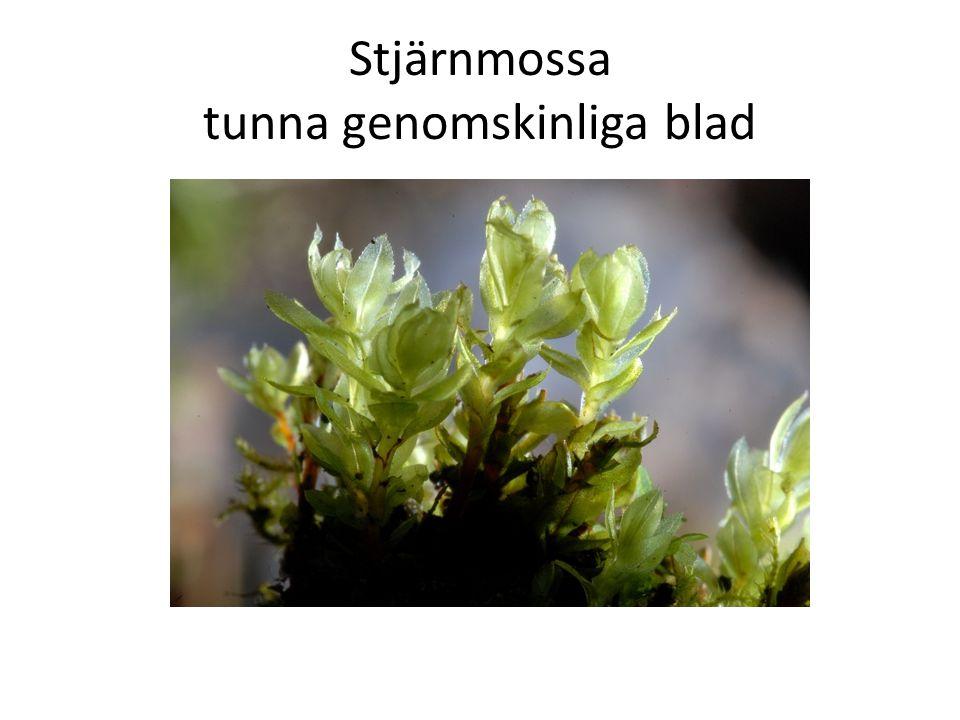 Stjärnmossa tunna genomskinliga blad