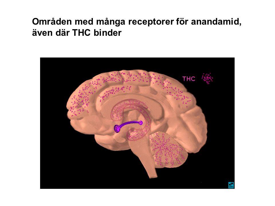 Områden med många receptorer för anandamid, även där THC binder