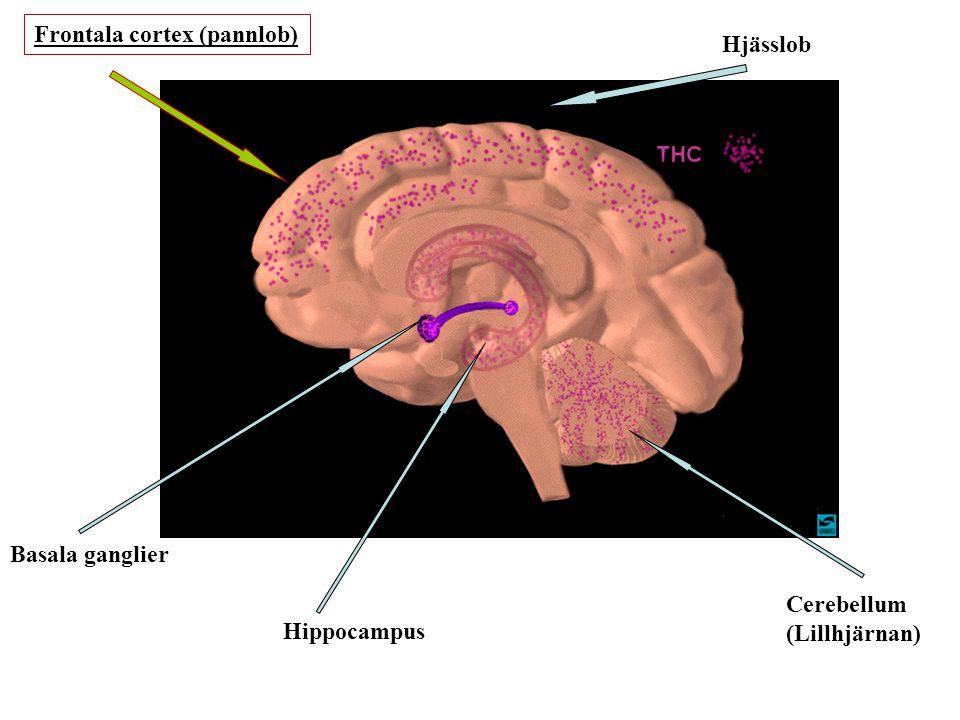 Basala ganglier Hippocampus Cerebellum (Lillhjärnan) Frontala cortex (pannlob) Hjässlob