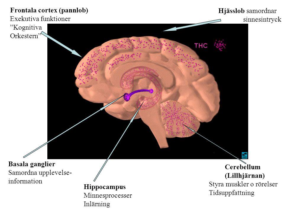 Basala ganglier Samordna upplevelse- information Hippocampus Minnesprocesser Inlärning Cerebellum (Lillhjärnan) Styra muskler o rörelser Tidsuppfattni