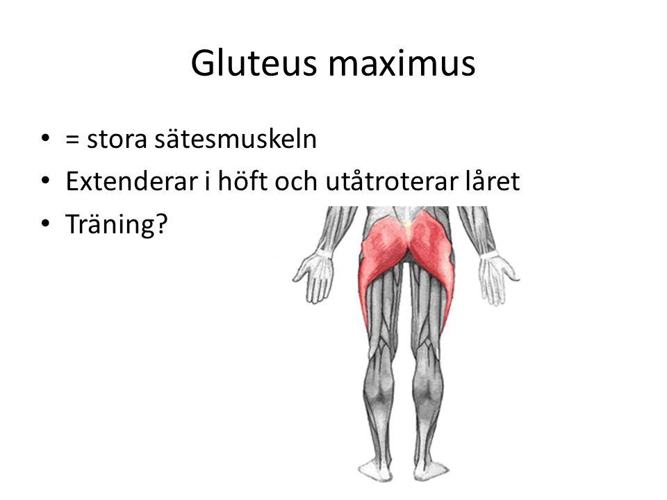 Gluteus maximus = stora sätesmuskeln Extenderar i höft och utåtroterar låret Träning?
