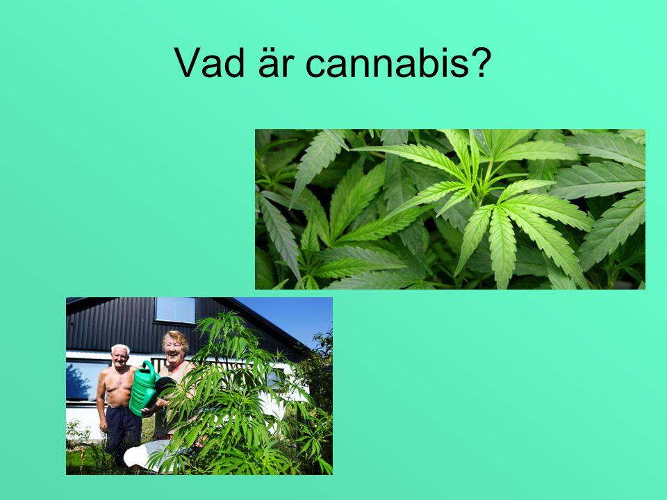 Cannabis Sativa Hasch och marijuana kommer från växten Cannabis Sativa, en hampväxt som odlas i stora delar av världen.
