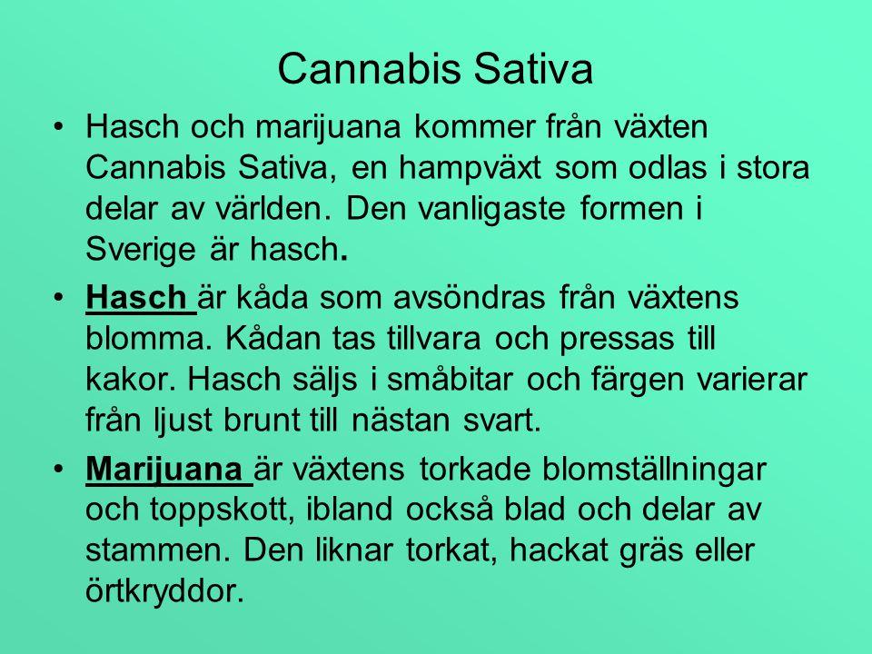 Cannabis Sativa Hasch och marijuana kommer från växten Cannabis Sativa, en hampväxt.