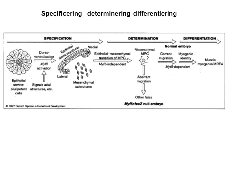 Specificeringdetermineringdifferentiering