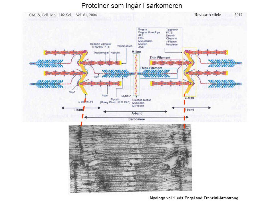 Myology vol.1 eds Engel and Franzini-Armstrong Proteiner som ingår i sarkomeren
