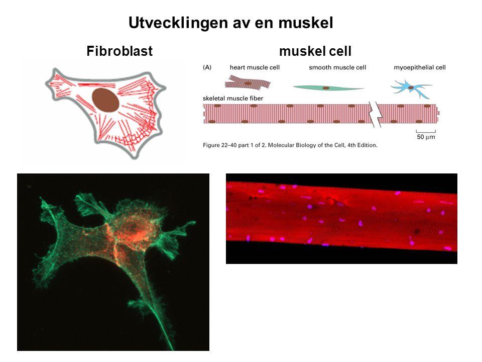 Fibroblast muskel cell Lindberg u Utvecklingen av en muskel