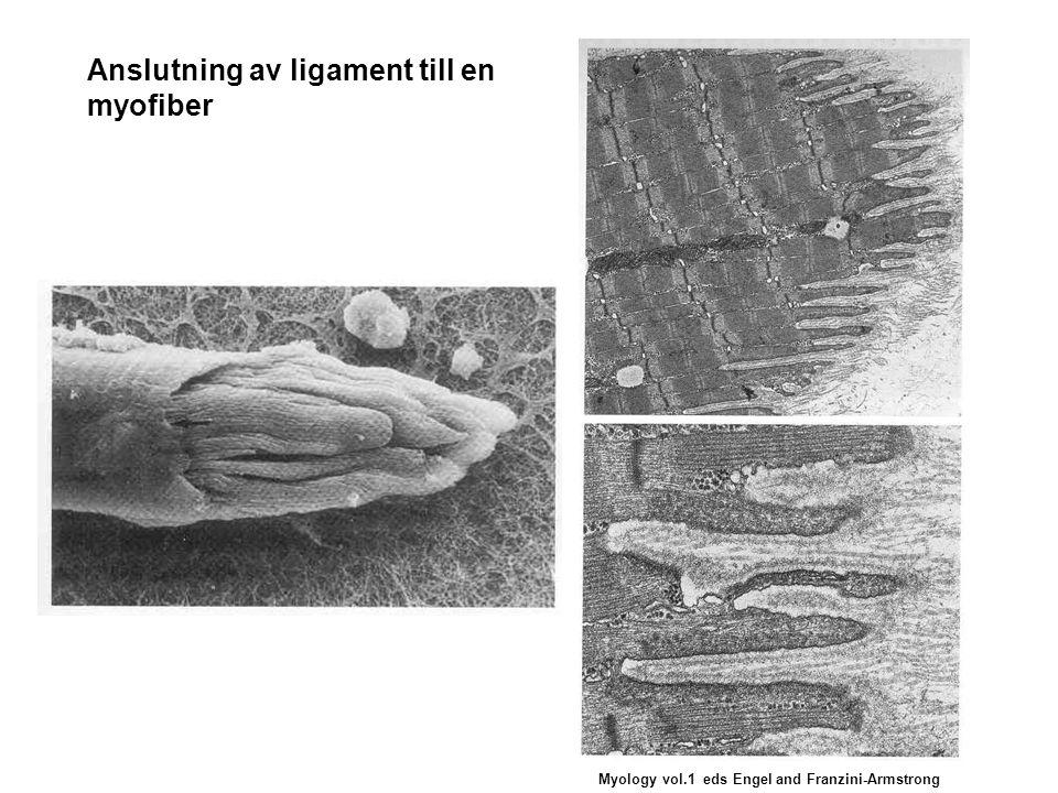 Anslutning av ligament till en myofiber Myology vol.1 eds Engel and Franzini-Armstrong