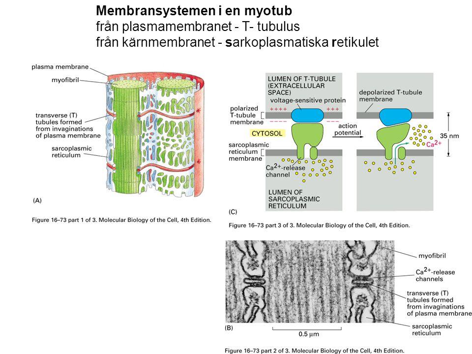 Membransystemen i en myotub från plasmamembranet - T- tubulus från kärnmembranet - sarkoplasmatiska retikulet