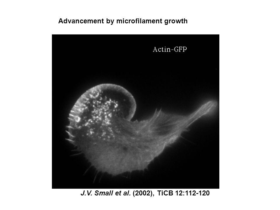 Homeotic selector genes (Hox genes) Kontrolerar anterior-posterior position
