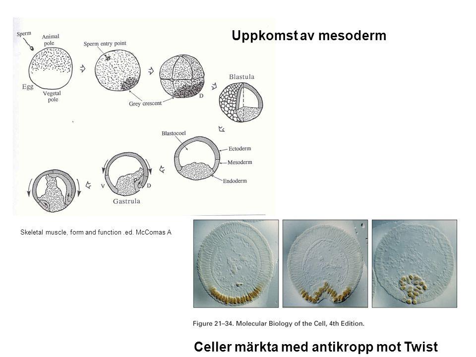 Bildning av sekundära myotuber runt en primär myotub Myology vol.1 eds Engel and Franzini-Armstrong myofibrill