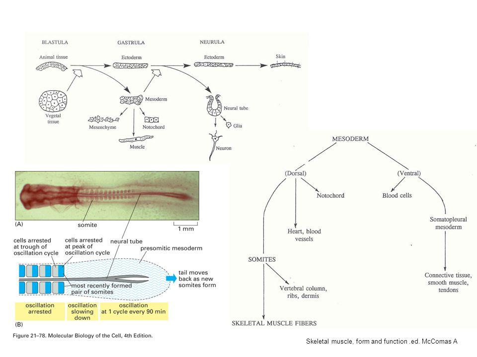 Bildning av dermomyotom Myology vol.1 eds Engel and Franzini-Armstrong Skeletal muscle, form and function.ed.