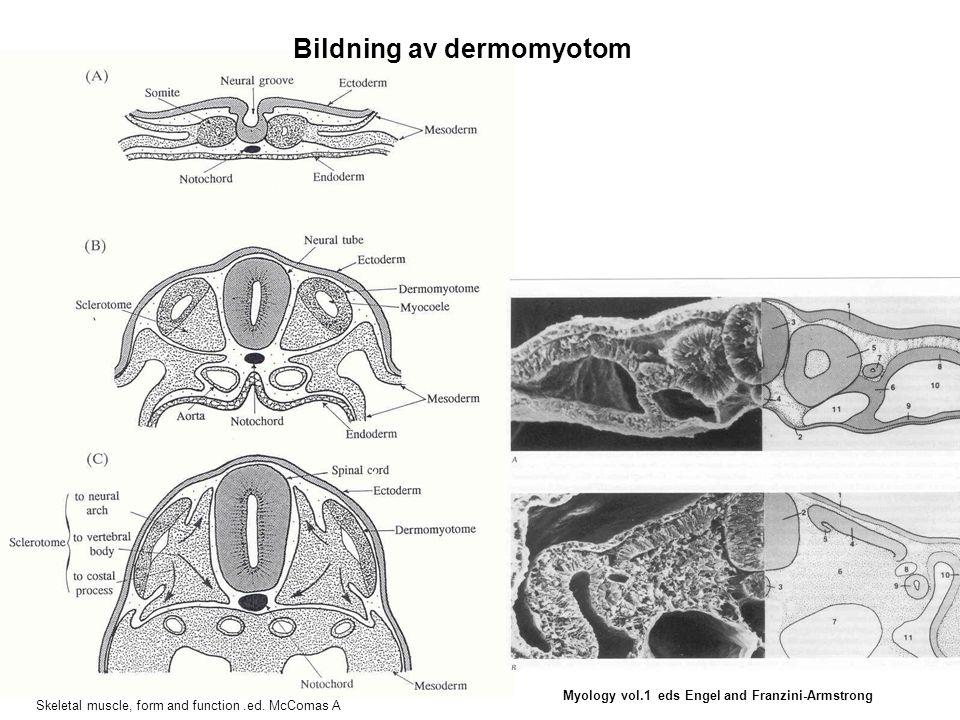 Sarcomer utveckling i spridande hjärtmyocyte  actininmyosin Myology vol.1 eds Engel and Franzini-Armstrong prreprre