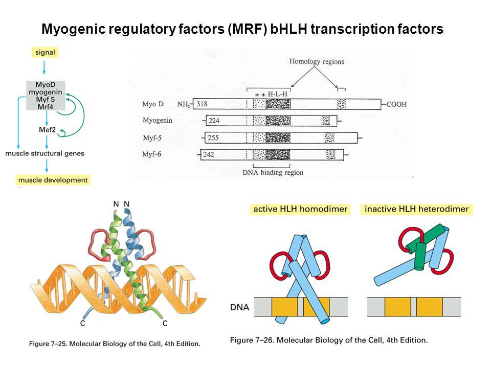 Några proteiner viktiga för muskelbildningen Pax 3 och 7 Myf-5 Myo-D Myogenin Mrf-4 Mef-2 Wnt Shh Notch