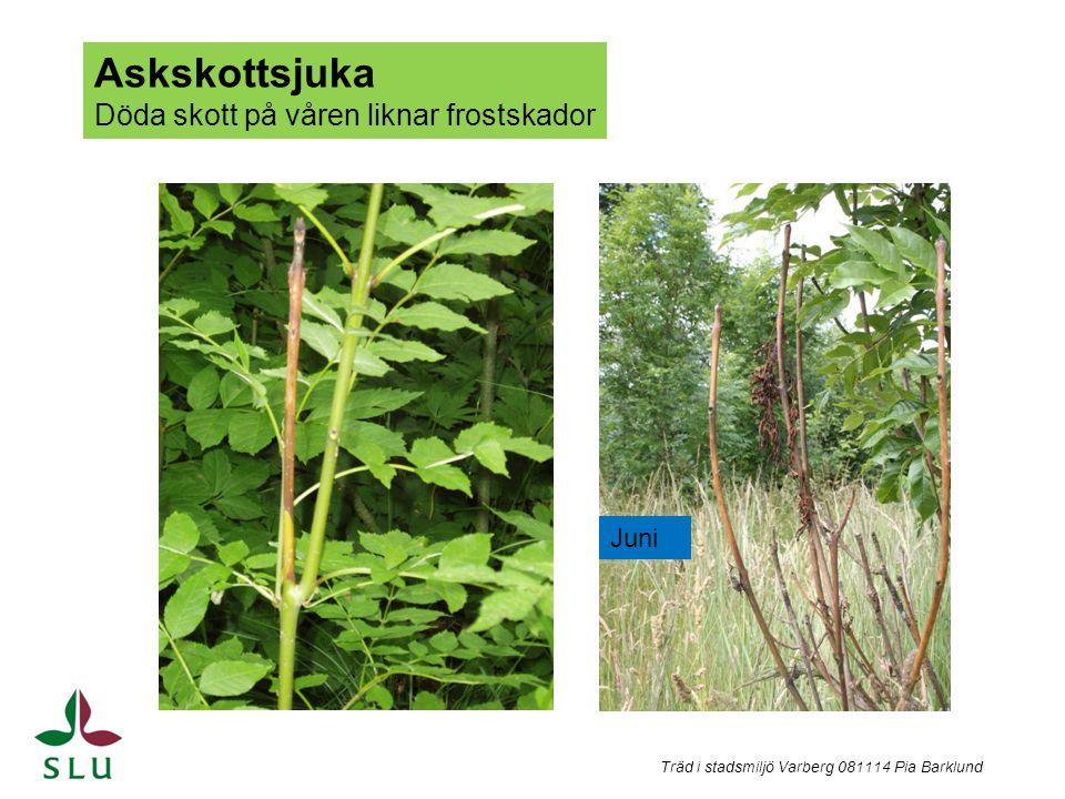 Träd i stadsmiljö Varberg 081114 Pia Barklund Askskottsjuka Döda skott på våren liknar frostskador Juni