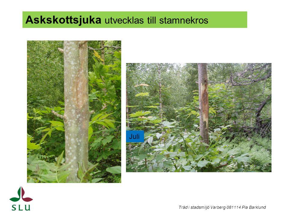 Träd i stadsmiljö Varberg 081114 Pia Barklund Askskottsjuka utvecklas till stamnekros Juli