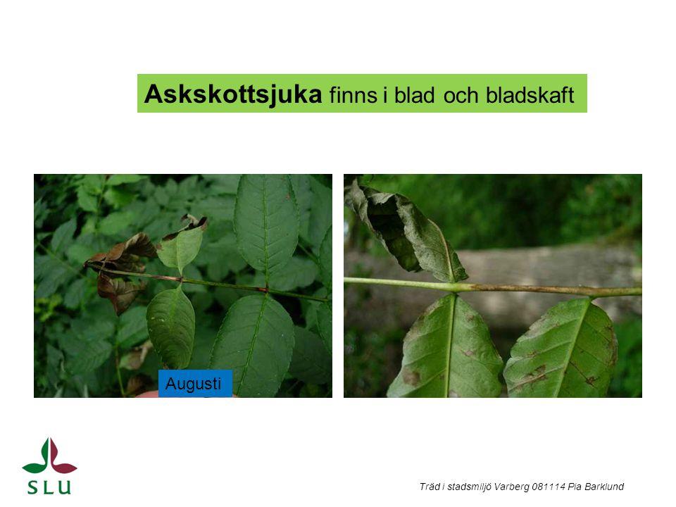 Träd i stadsmiljö Varberg 081114 Pia Barklund Askskottsjuka finns i blad och bladskaft Augusti