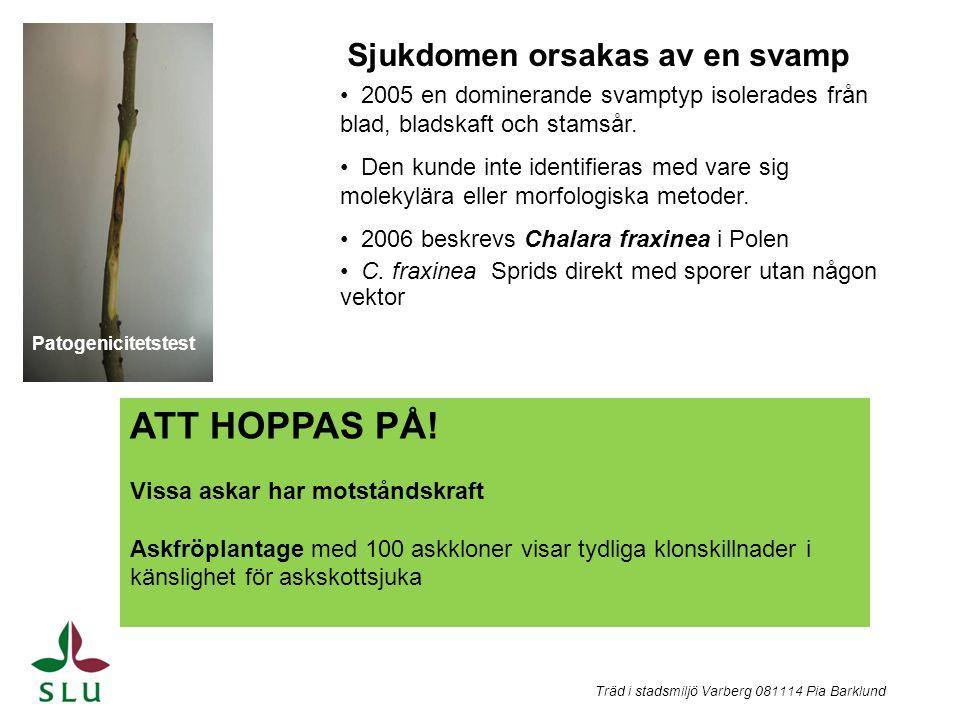 Träd i stadsmiljö Varberg 081114 Pia Barklund Patogenicitetstest Sjukdomen orsakas av en svamp 2005 en dominerande svamptyp isolerades från blad, blad