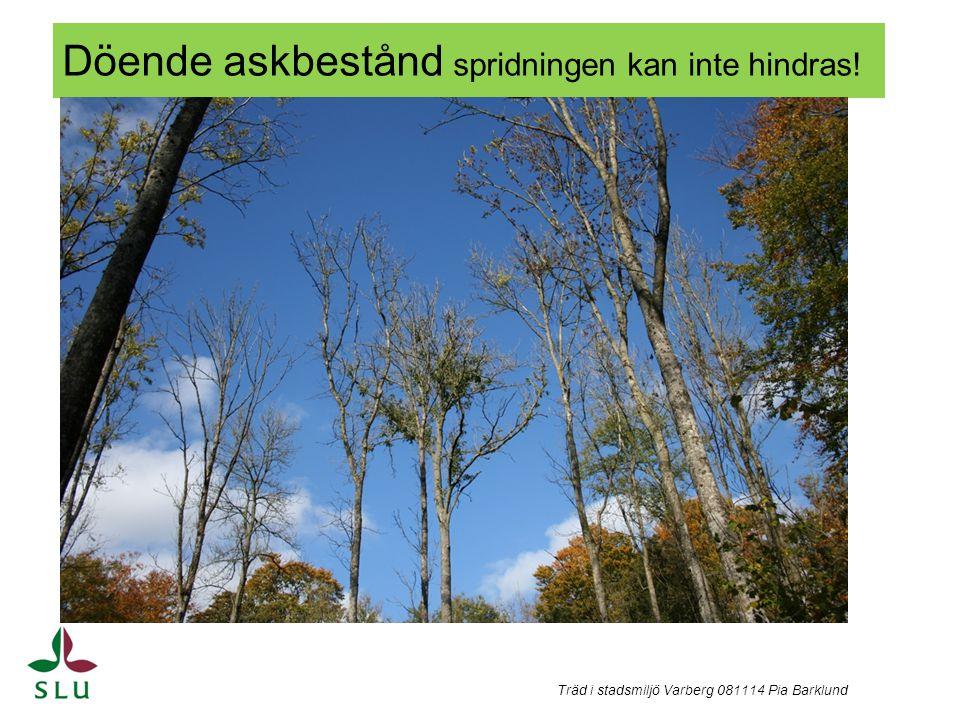 Döende askbestånd spridningen kan inte hindras! Träd i stadsmiljö Varberg 081114 Pia Barklund