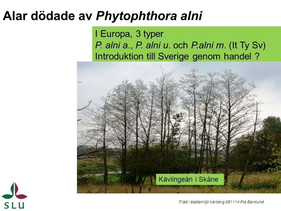 I Europa, 3 typer P. alni a., P. alni u. och P.alni m. (It Ty Sv) Introduktion till Sverige genom handel ? Träd i stadsmiljö Varberg 081114 Pia Barklu