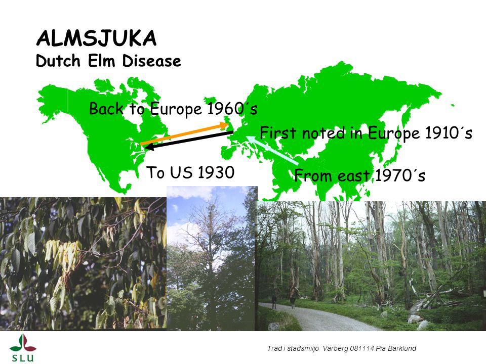 Träd i stadsmiljö Varberg 081114 Pia Barklund Nyinfektion på unga askar under sommaren Augusti