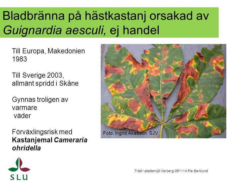 Bladbränna på hästkastanj orsakad av Guignardia aesculi, ej handel Träd i stadsmiljö Varberg 081114 Pia Barklund Till Europa, Makedonien 1983 Till Sve