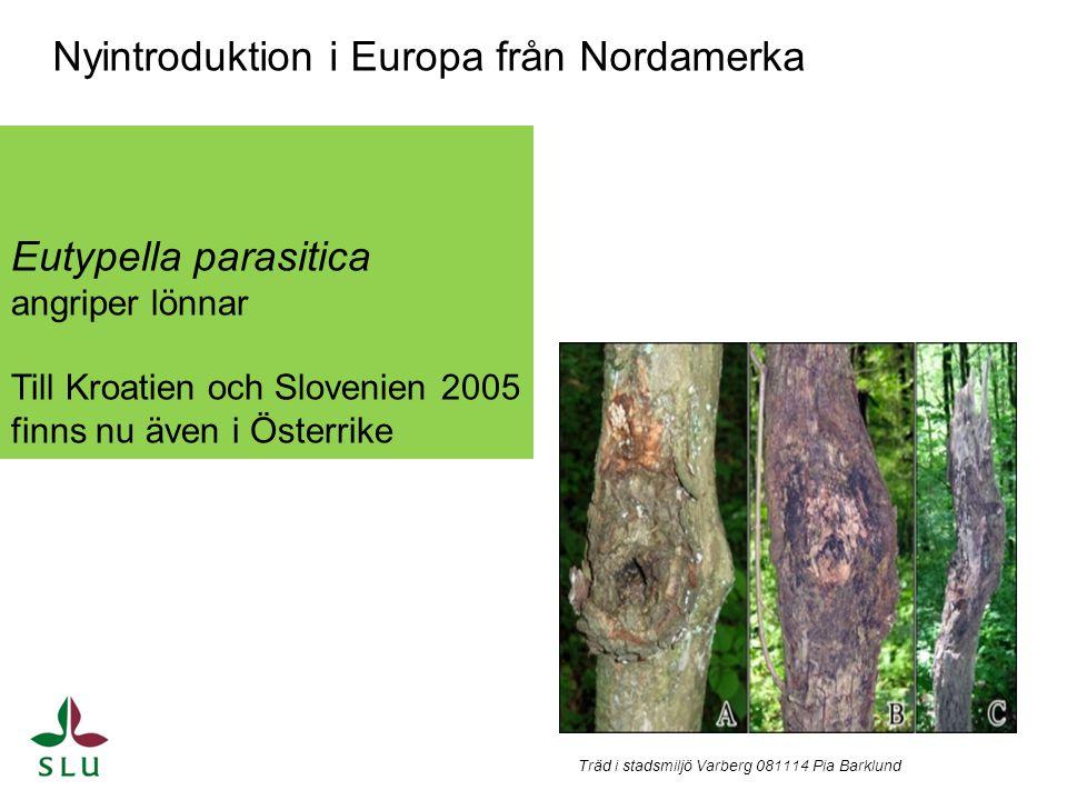 Eutypella parasitica angriper lönnar Till Kroatien och Slovenien 2005 finns nu även i Österrike Nyintroduktion i Europa från Nordamerka Träd i stadsmi