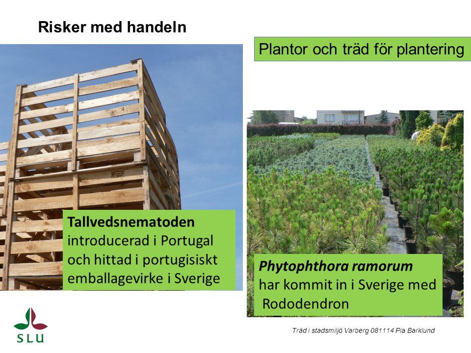 Risker med handeln Tallvedsnematoden introducerad i Portugal och hittad i portugisiskt emballagevirke i Sverige Plantor och träd för plantering Phytop