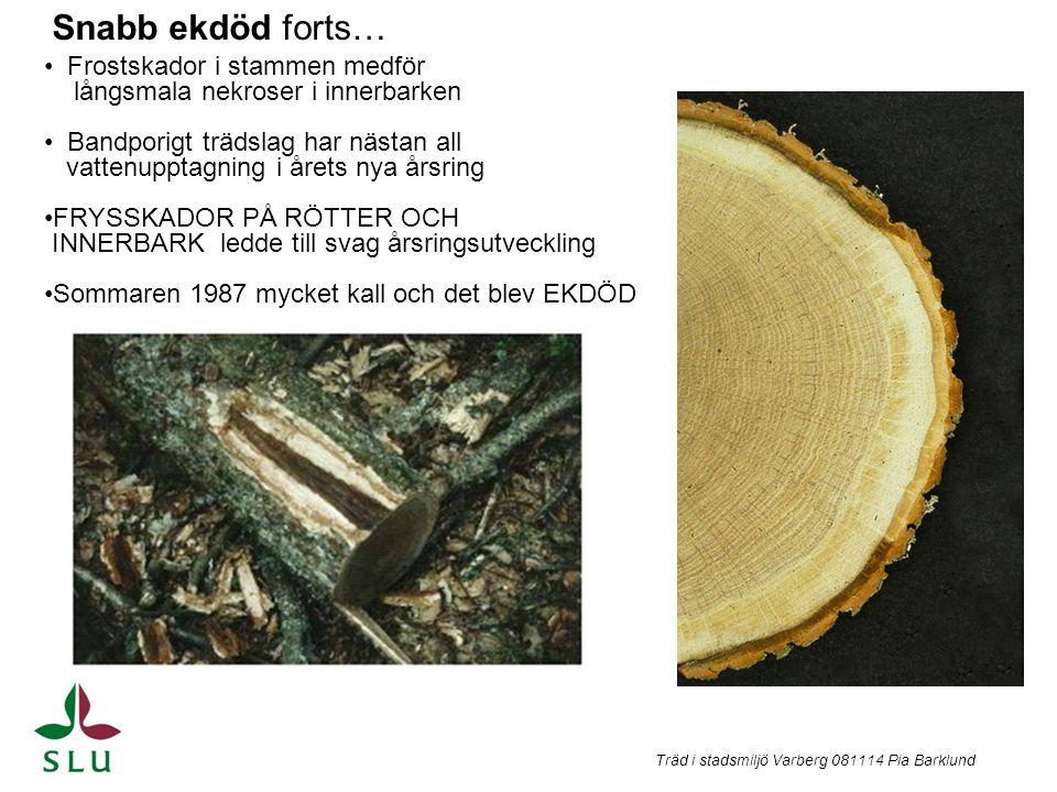 Snabb ekdöd forts… Frostskador i stammen medför långsmala nekroser i innerbarken Bandporigt trädslag har nästan all vattenupptagning i årets nya årsri