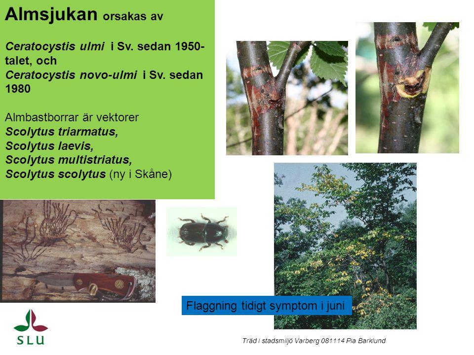 Almsjuka, vissnande skott brunsvart mycel i yttersta årsringen, juni Träd i stadsmiljö Varberg 081114 Pia Barklund