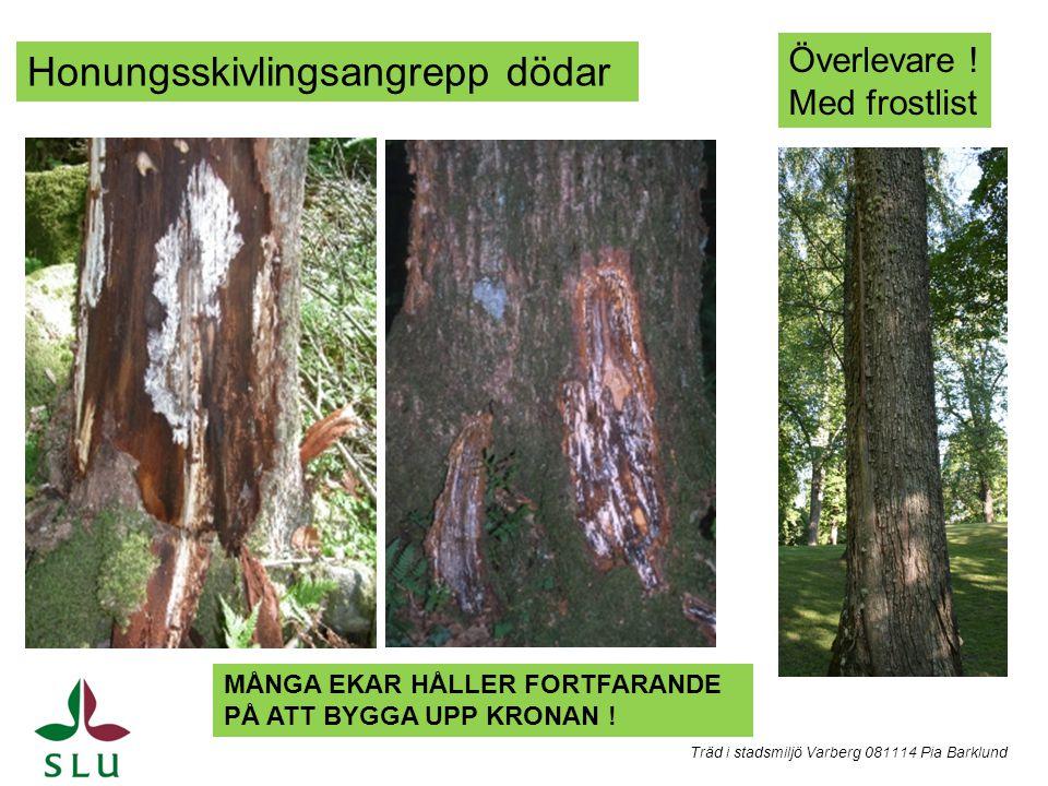 Honungsskivlingsangrepp dödar Överlevare ! Med frostlist MÅNGA EKAR HÅLLER FORTFARANDE PÅ ATT BYGGA UPP KRONAN ! Träd i stadsmiljö Varberg 081114 Pia