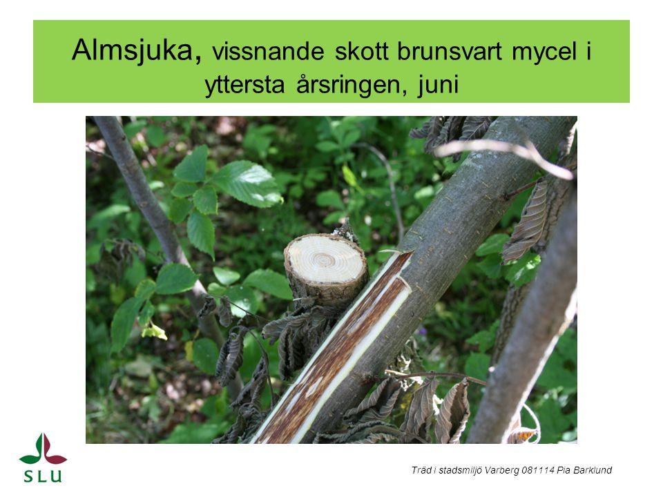 Nydöd alm och död gren a) Lämplig yngelved b) Spridning vidare i trädet från grenen c) Smitta genom rotkontakter c) Träd i stadsmiljö Varberg 081114 Pia Barklund