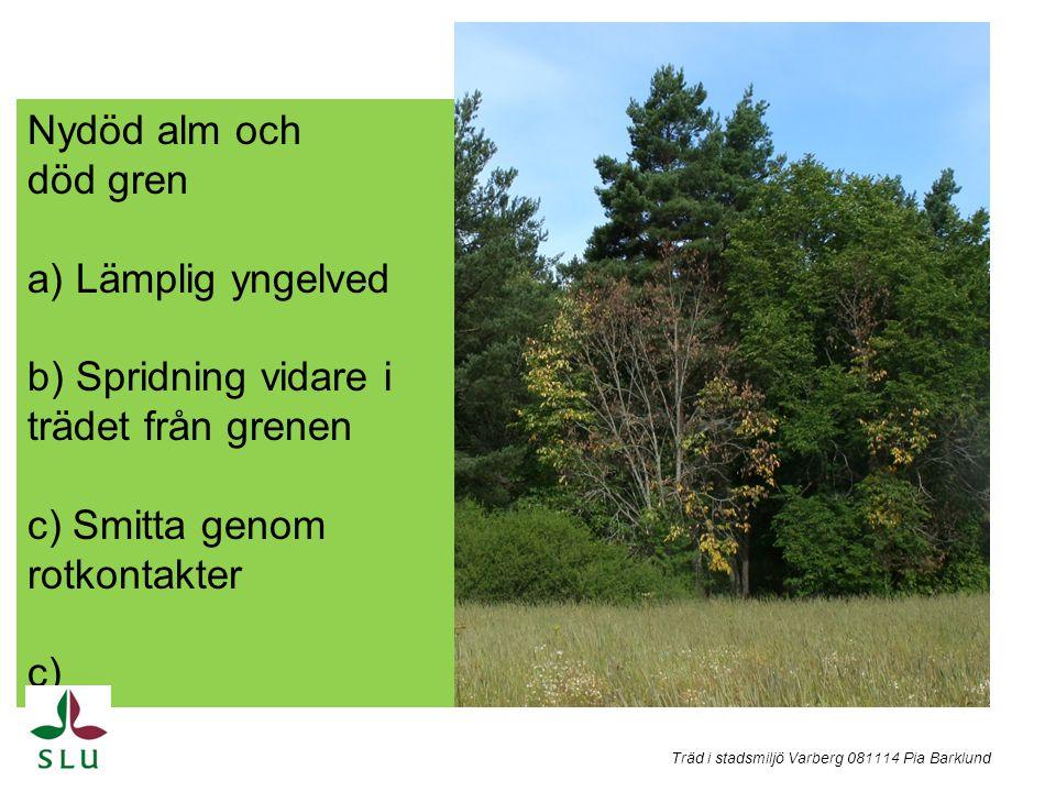Nydöd alm och död gren a) Lämplig yngelved b) Spridning vidare i trädet från grenen c) Smitta genom rotkontakter c) Träd i stadsmiljö Varberg 081114 P