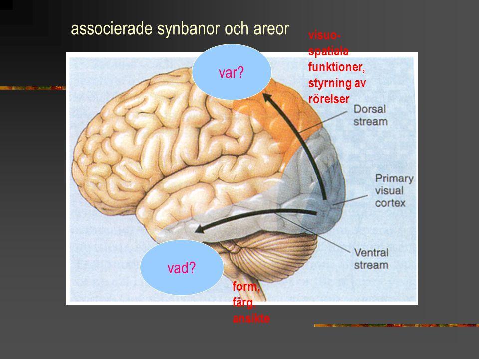 associerade synbanor och areor visuo- spatiala funktioner, styrning av rörelser form, färg, ansikte var? vad?