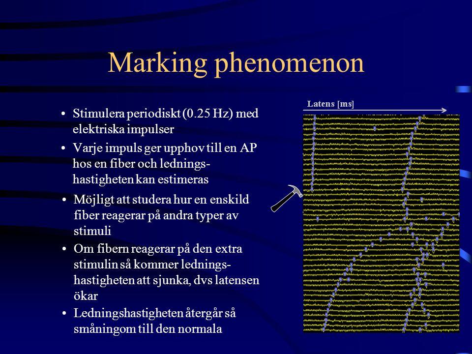 Marking phenomenon Stimulera periodiskt (0.25 Hz) med elektriska impulser Varje impuls ger upphov till en AP hos en fiber och lednings- hastigheten ka