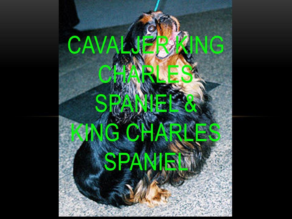 CAVALJER KING CHARLES SPANIEL & KING CHARLES SPANIEL