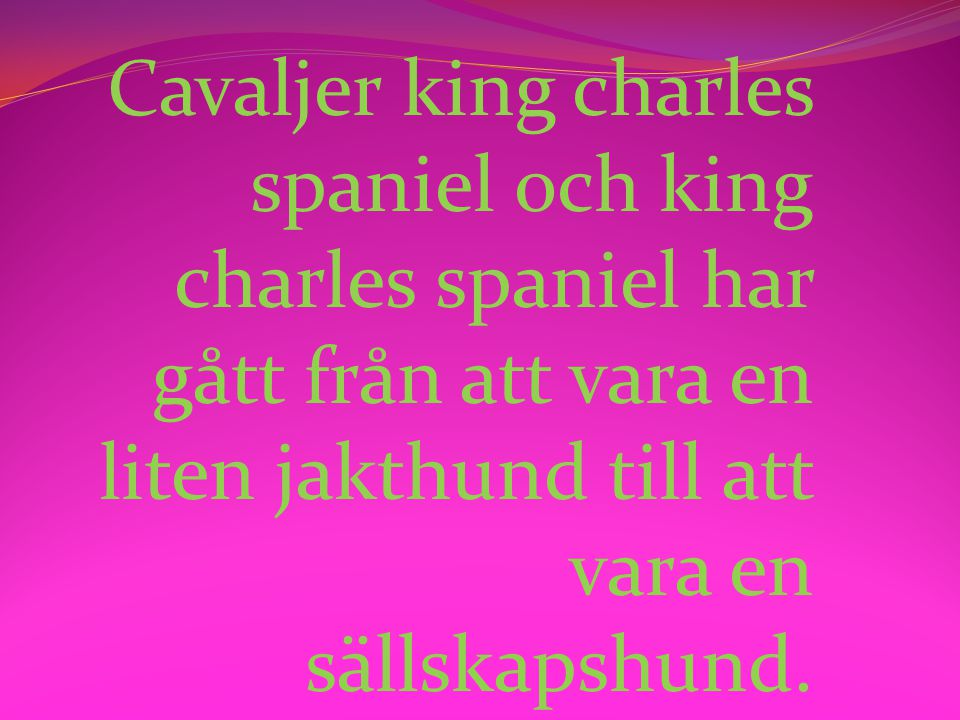 Cavaljer king charles spaniel och king charles spaniel har gått från att vara en liten jakthund till att vara en sällskapshund.