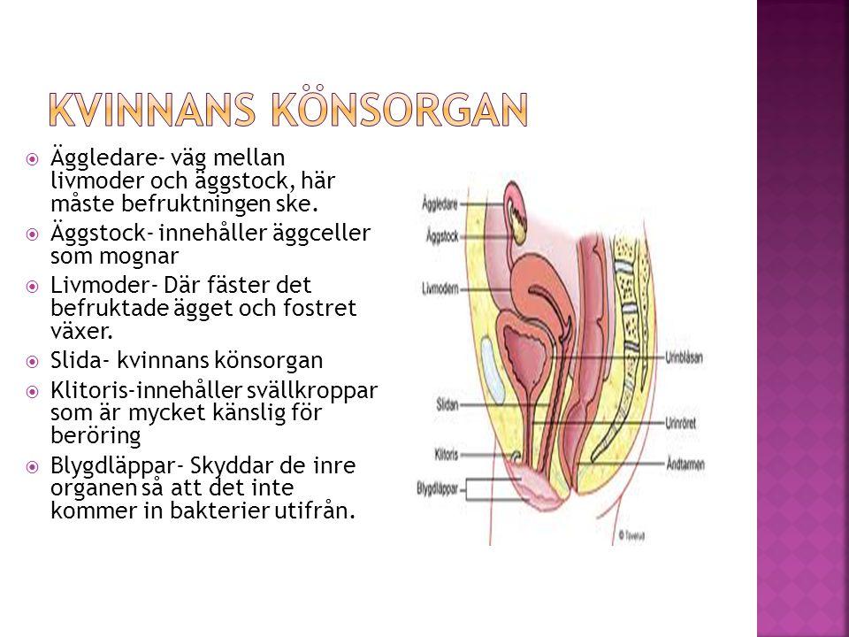  Äggledare- väg mellan livmoder och äggstock, här måste befruktningen ske.  Äggstock- innehåller äggceller som mognar  Livmoder- Där fäster det bef