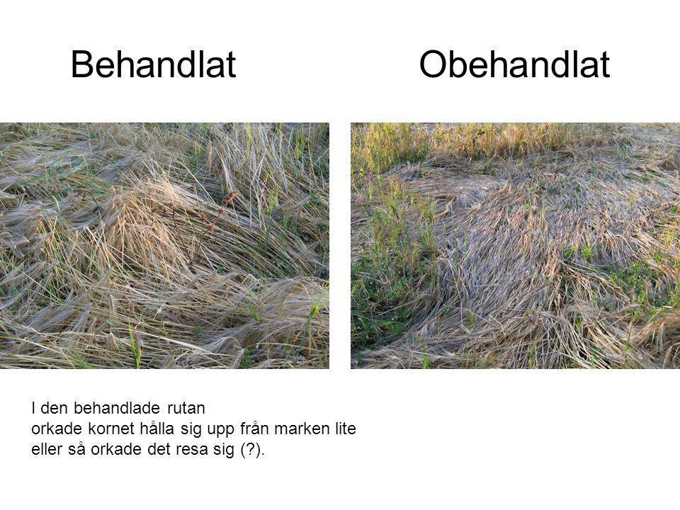 Behandlat Obehandlat I den behandlade rutan orkade kornet hålla sig upp från marken lite eller så orkade det resa sig (?).