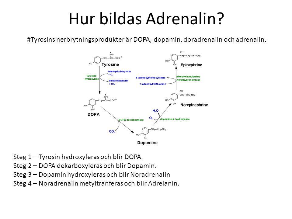 Hur bildas Adrenalin? #Tyrosins nerbrytningsprodukter är DOPA, dopamin, doradrenalin och adrenalin. Steg 1 – Tyrosin hydroxyleras och blir DOPA. Steg