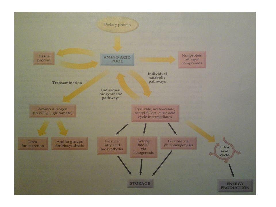 Aminosyror katabolism Transaminering - Omvandling av en aminosyra till en ketosyra.