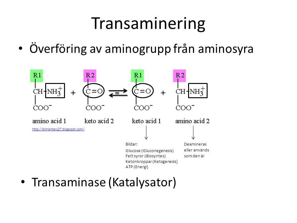 Överföring av aminogrupp från aminosyra Transaminering Bildar: Glucose (Gluconegenesis) Fett syror (Biosyntes) Ketonkroppar (Ketogenesis) ATP (Energi)
